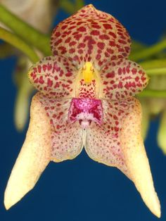 Bulbophyllum guttulatum