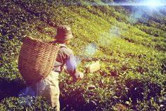 With experience in growing and blending our own tea since 1918, we've made tea our art. Try us - tasting is believing.