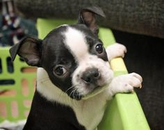 Bowser the Boston Terrier, can I come out and play with YOU???