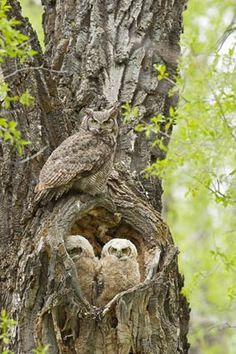 owls ~ nature's masters of the woods ~ camouflaged to conceal, gifted with great intelligence & aerial abilities of stealth, speed, agility ~