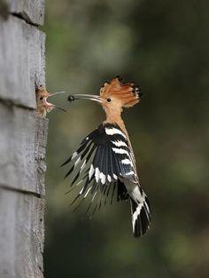 ...Upupa epops    Higher classification: Upupa     Madagascar Hoopoe..