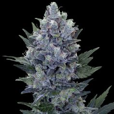 Northern Light Automatic from Royal Queen Seeds  #marijuana #cannabis #weed  www.irierebel.com