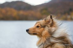 You know it's a good day when the wind rushes through your hair - Luca the Sheltie https://www.instagram.com/lucathesheltie/?hl=nb