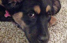 Billie the German Shepherd