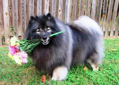 7 REASONS WHY THE KEESHOND TOTALLY OWNS THE NICKNAME THE SMILING DUTCHMAN