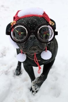 """Not sure if these goggles are """"Harry Pug-ter"""" or """"Steam Pug"""", but either way this pug is CUTE! (photo: Meanwhile, back at the ranch…)"""