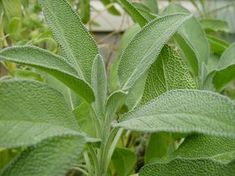 "100 Seeds, Sage Herb ""Broad Leaved"" (Salvia officinalis) Seeds by Seed Needs) by… - Modern Patio Planters, Diy Patio, Sage Benefits, Health Benefits, Sage Herb, Sage Plant, Salvia Officinalis, Herbal Treatment, Herb Seeds"