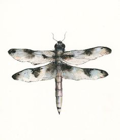 Aquarelle peinture masculin commun Whitetail par amberalexander