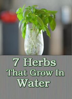 7 Herbs That Grow In Water Do you wish that you had fresh herbs to cook with all year long? This is how you can do it!