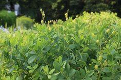 baptisia foliage