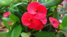 Ευφόρβια: ένα φυτό για τα δύσκολα σημεία της βεράντας & του κήπου