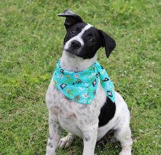 Boxer/Blue Heeler Mix Puppy for adoption in Waterloo