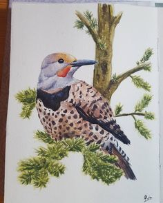 Felt restless last night so I painted this little cutie. I see lots of them these days and they're a part of the morning chorus in my neighborhood from March to September. I thought they were woodpeckers at first but then a teacher told me they were Northern Flickers a medium sized woodpecker that migrates. They're beautiful birds; especially for their plumage! Took about 2 hours on this one. #sketching #sketchbook #watercolour #illustration #colour #bird #woodpecker #northernflicker…