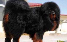 El Mastín Tibetano puede presumir de ser el perro más caro de la historia. 2 millones de dólares pagó un empresario chino por uno de estos majestuosos animales en 2014. Esta raza, usada como guardianes en los monasterios budistas, es una de las más antiguas y en China es símbolo de status social.