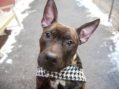 TO BE DESTROYED - 02/09/15 Manhattan Center -P  My name is PINK. My Animal ID # is A1026609. I am a female br brindle and white am pit bull ter mix. The shelter thinks I am about 1 YEAR 1 MONTH old.  I came in the shelter as a STRAY on 01/29/2015 from NY 10454, owner surrender reason stated was STRAY.