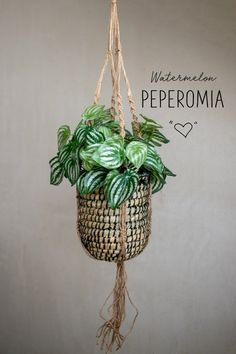 Watermelon Peperomia fake plant with decorative foliage. Also known as Peperomia Argyreia. The trendy Peperomia plants are super cute with their compact bushy form and stunning patterned leaves in str Fake Plants Decor, Real Plants, Faux Plants, Foliage Plants, Hanging Plants, Plant Decor, Indoor Plants, Inside Plants, Peperomia Plant