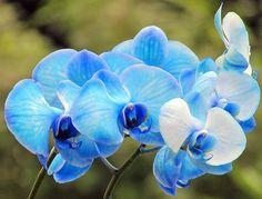 Vanda-Blue Orchid