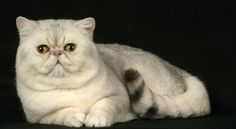 Check Out Some Of These Adorable Javanese Cat Prices Breeds. It's Incredibly Cute.