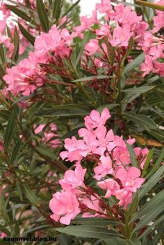 Ki a leanderekkel! Outdoor, Gardening, Beautiful Roses, Vegetable Garden, Garden, Plants, Shrubs, Outdoors, Garten