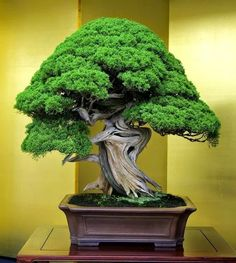 Growing bonsai from their seeds is essentially growing a tree from its seed. Get tips and guidelines on how to grow your first bonsai from its seed phase. Ikebana, Plantas Bonsai, Mini Bonsai, Indoor Bonsai, Juniper Bonsai, Bonsai Styles, Art Japonais, Miniature Trees, Bonsai Garden