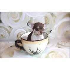 Chocolate Chihuahua Baby Girl