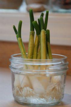 Usando un tarro de cristal vacío podemos hacer crecer nuestras propias cebolletas frescas. ¡Sin tierra! La cosa es muy simple. Cuando compremos cebolletas guardamos una con el bulbo intacto y la de…
