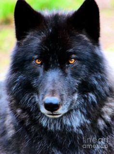 I had a dream of a dog that turned into a majestic Black Wolf. I wondered, Dog or Wolf? Why was I afraid of the wolf? And then I was embracing Wolf with deep respect. Wolf Photos, Wolf Pictures, Wolf Images, Wolf Love, Wolf Spirit, Spirit Animal, Beautiful Creatures, Animals Beautiful, Wolf With Blue Eyes