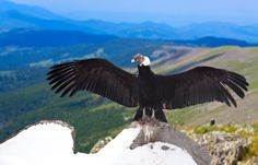 Andean Condor on top of a mountain in South America. One of the many bird species living in South America