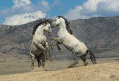 Two Gray wild stallions fighting