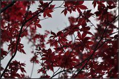 Acero giapponese - Parco di Sigurtà - Valeggio sul Mincio