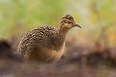 Perdiz Chilena Small Birds, Beautiful Birds, Patagonia, Quails, Drawings, Savages, Animais, Animal Pictures, Animals And Pets