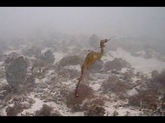 The mysterious ruby seadragon is spotted in real life for the first time | Daily Mail Online