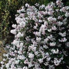 beautiful shrub, Kalmiifolia