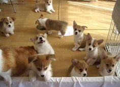 Twitter / dogpic84: コーギー大集合! ...