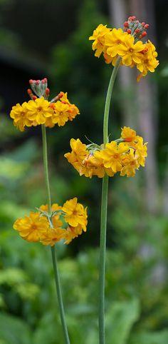 Candelabra Primula Bulleyana