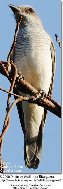 Large Cuckoo-shrike Coracina macei