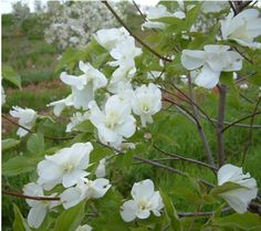 Go ahead, let your garden go to the dogs. With pure white blooms, and flowers with up to 20 petals, there are no bones about it--this Eternal double-flowering dogwood tree is a gardener's best friend. White Trees, Dogwood Trees, Bloom, Pure Products, Garden, Flowers, Plants, Garten, Lawn And Garden