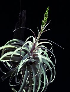 Xerographica makes a great gift or centerpiece for any table. Visit ALLTHEBLOOM.COM for more information on what air plants we offer.  #bloomcertified #terrarium #terrariums #airplant #airplants #garden #apartment #home #travel #atlanta #Canada #marietta #orchid #landscape #art #livingart #tillandsia #flowers #nature #naturelovers #florida #canada #unitedkingdom #malaysia #interior