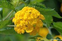 A Lantana montevidensis e um subarbusto, pertence à família Verbenaceae, nativa…