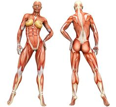 Awesome with a female muscle model! Click on the body part you want to work on and receive a list of tips and videos demonstrating workouts for that body part.