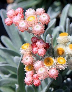 Mini-strawflowers