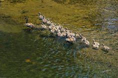 A family of geese on the Rogue River at Grants Pass, Oregon.