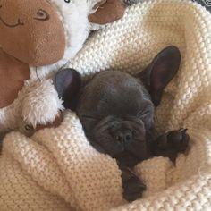 """Shhh, the baby's sleeping"", Blue French Bulldog Puppy"