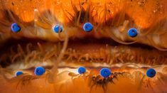 Macro photo of a scallop showing some of its bright blue eyes. [1800x1004]