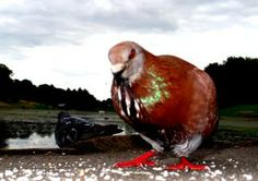 pigeon patience