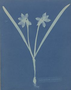 """Anna Atkins - was an English botanist and photographer, best known for her """"cyanotype impressions"""", or cyanotype photograms. Atkins, History Of Photography, Vintage Photography, Digital Photography, Books Art, Cyanotype Process, Dry Plants, Getty Museum, Female Photographers"""
