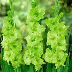 Gladioli 'Green Star'