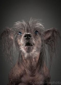 """""""Meet Fink, the 14yr old Chinese Crested (yup hairless!). As his owner Laura says he's """"bumpy, lumpy, grey and hanging in there""""!"""""""