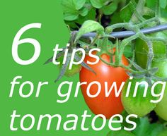 How to grow tomatoes even if you don't have much room, plus other tips
