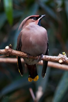 fairy-wren:    bohemian waxwing  (photo by Michal Dobes)